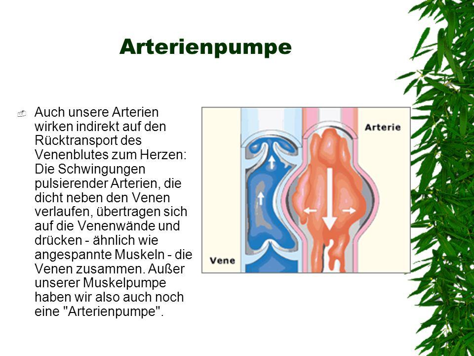Arterienpumpe Auch unsere Arterien wirken indirekt auf den Rücktransport des Venenblutes zum Herzen: Die Schwingungen pulsierender Arterien, die dicht