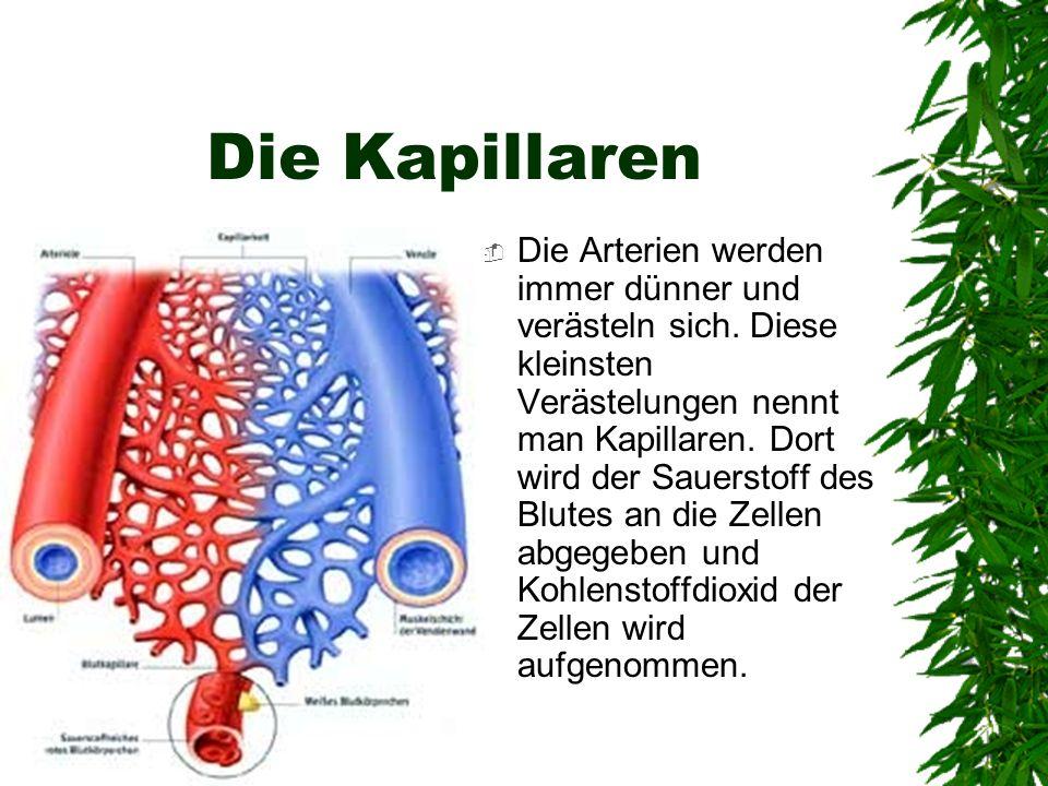 Die Kapillaren Die Arterien werden immer dünner und verästeln sich. Diese kleinsten Verästelungen nennt man Kapillaren. Dort wird der Sauerstoff des B
