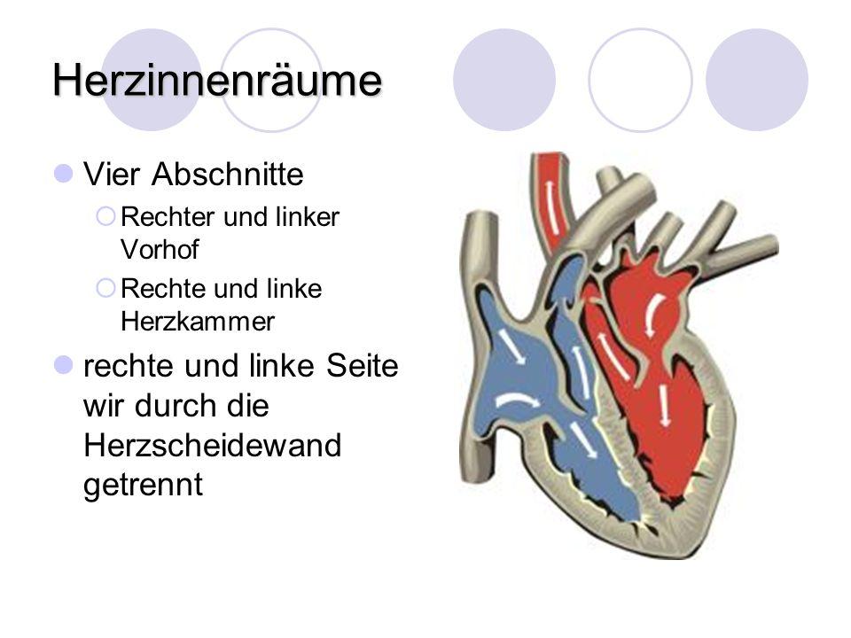 Herzinnenräume Vier Abschnitte Rechter und linker Vorhof Rechte und linke Herzkammer rechte und linke Seite wir durch die Herzscheidewand getrennt