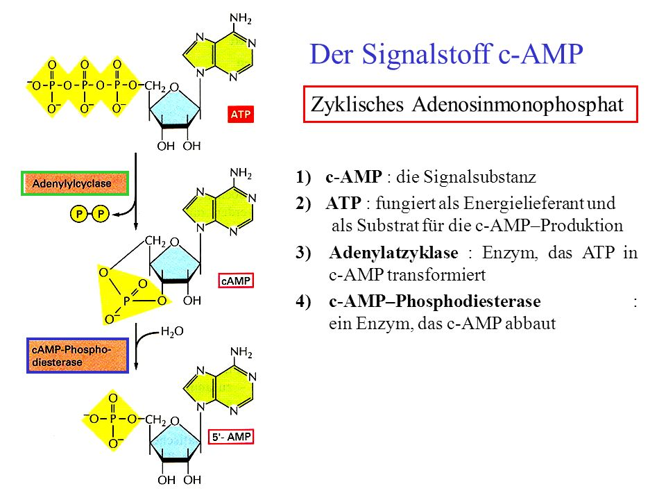 Der Signalstoff c-AMP 1) c-AMP : die Signalsubstanz 2) ATP : fungiert als Energielieferant und als Substrat für die c-AMP–Produktion 3)Adenylatzyklase : Enzym, das ATP in c-AMP transformiert 4)c-AMP–Phosphodiesterase : ein Enzym, das c-AMP abbaut Zyklisches Adenosinmonophosphat
