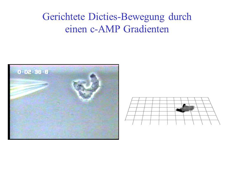 Gerichtete Dicties-Bewegung durch einen c-AMP Gradienten