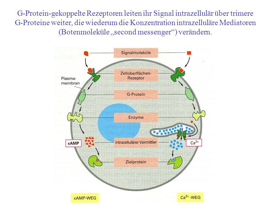 G-Protein-gekoppelte Rezeptoren leiten ihr Signal intrazellulär über trimere G-Proteine weiter, die wiederum die Konzentration intrazelluläre Mediatoren (Botenmoleküle second messenger) verändern.