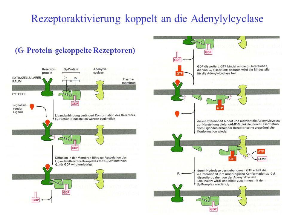 Rezeptoraktivierung koppelt an die Adenylylcyclase Bild (G-Protein-gekoppelte Rezeptoren)