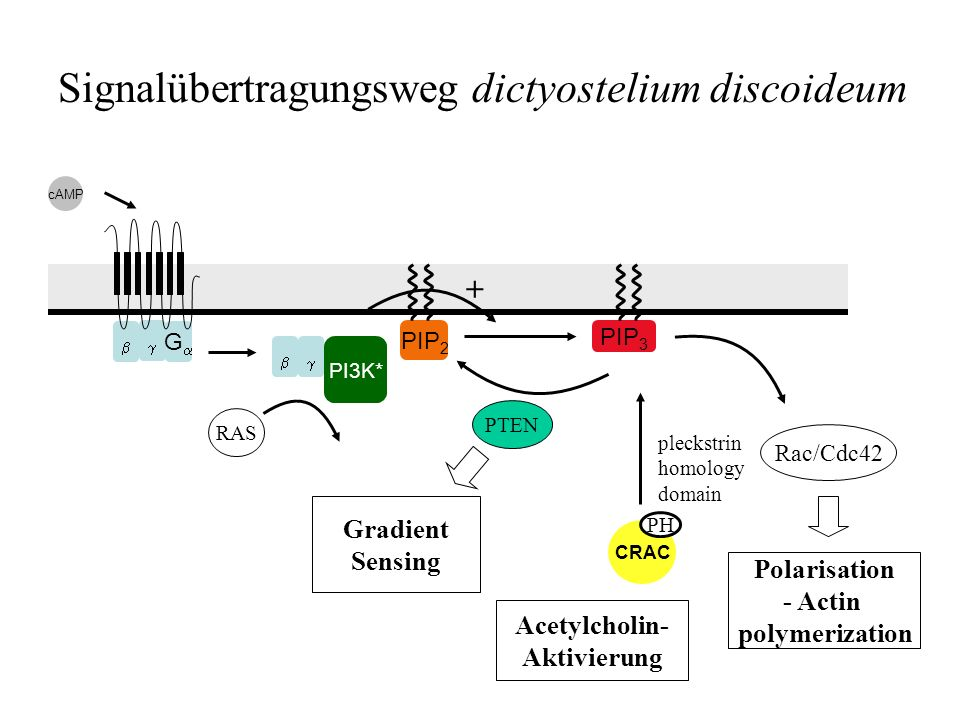 G Signalübertragungsweg dictyostelium discoideum PIP 2 PIP 3 CRAC cAMP PI3K* PH PTEN Rac/Cdc42 Polarisation - Actin polymerization RAS Gradient Sensin