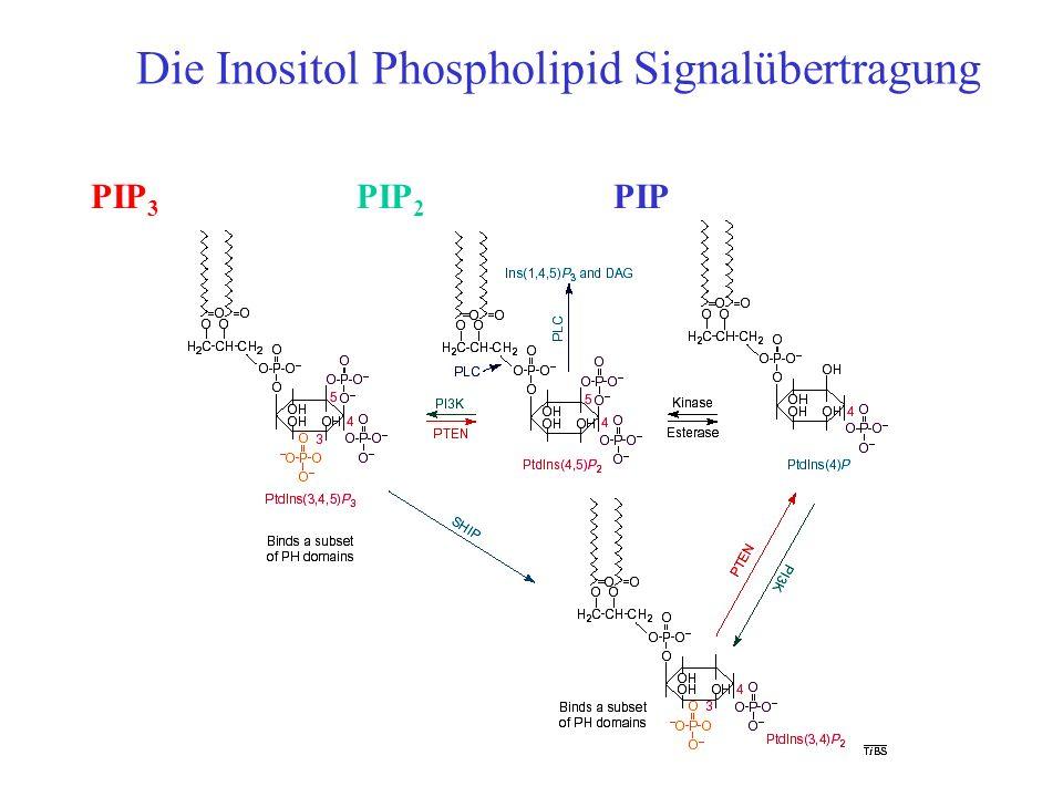 Die Inositol Phospholipid Signalübertragung PIPPIP 2 PIP 3