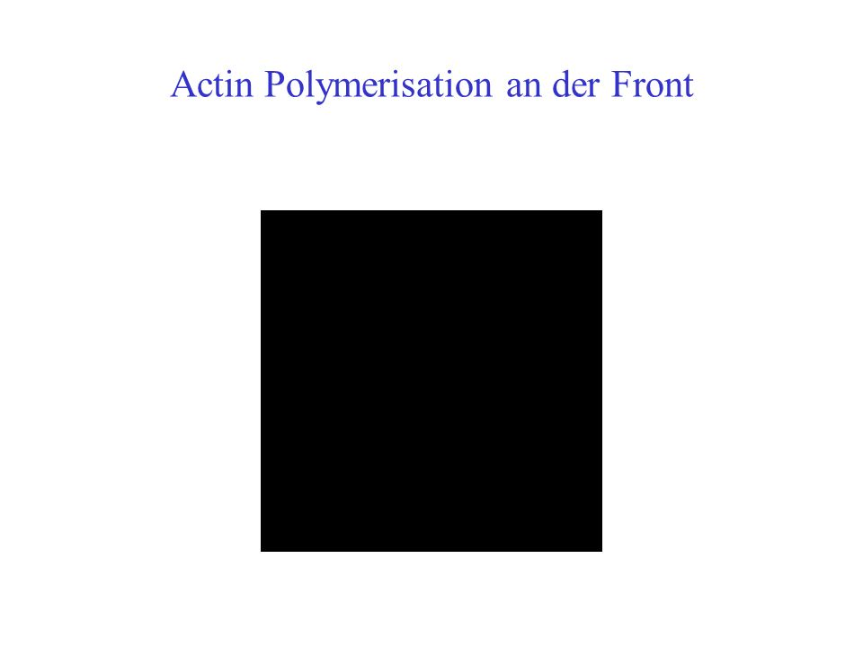 Actin Polymerisation an der Front