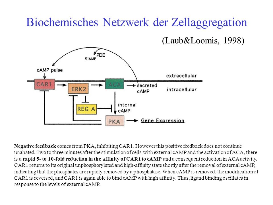Biochemisches Netzwerk der Zellaggregation (Laub&Loomis, 1998) Negative feedback comes from PKA, inhibiting CAR1.