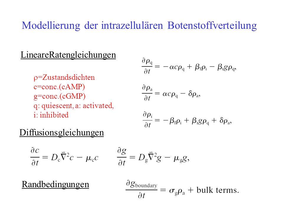 Diffusionsgleichungen Modellierung der intrazellulären Botenstoffverteilung LineareRatengleichungen Randbedingungen =Zustandsdichten c=conc.(cAMP) g=conc.(cGMP) q: quiescent, a: activated, i: inhibited