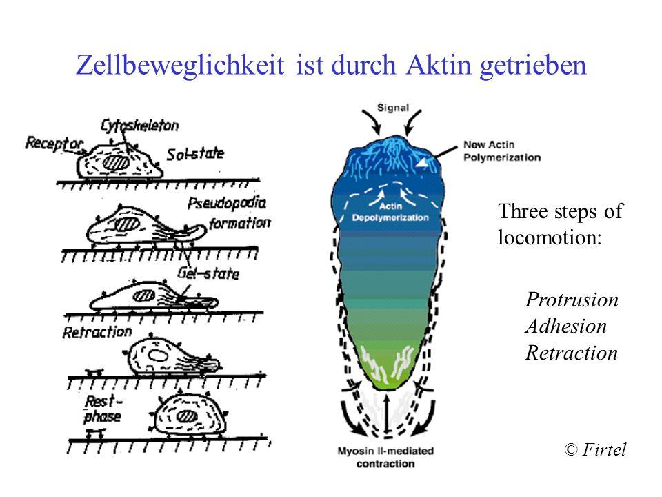 Zellbeweglichkeit ist durch Aktin getrieben © Firtel Protrusion Adhesion Retraction Three steps of locomotion: