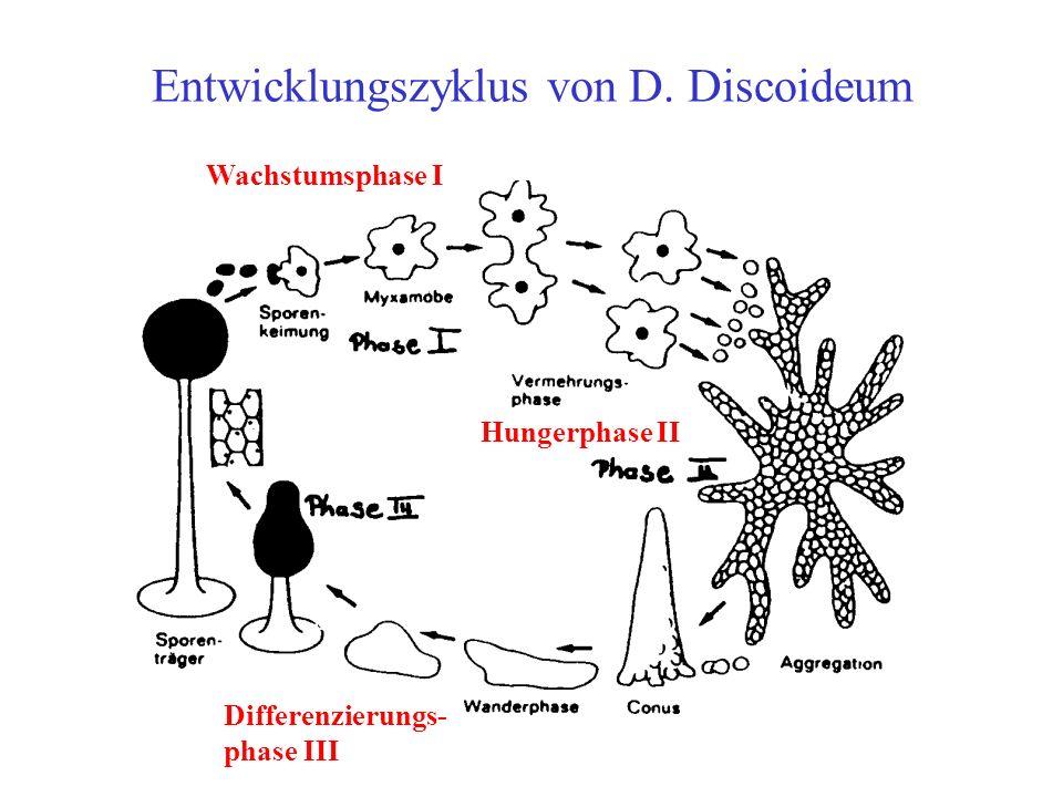 Der Lebenszyklus von Didi Phase I: Die Amöben leben (auf Agarplatten) unter paradiesischen Bedingungen (gutes Vehältnis Nahrung zu Populationsdichte) als Einzeller und vermehren sich durch Teilung.