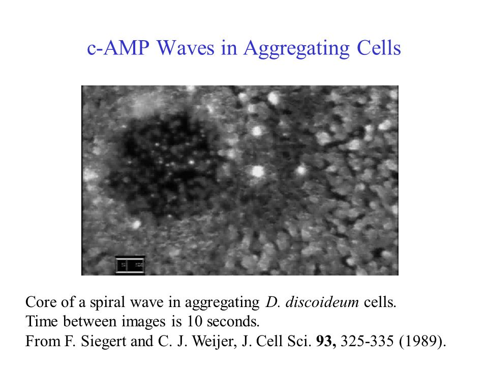 c-AMP Waves in Aggregating Cells Core of a spiral wave in aggregating D.