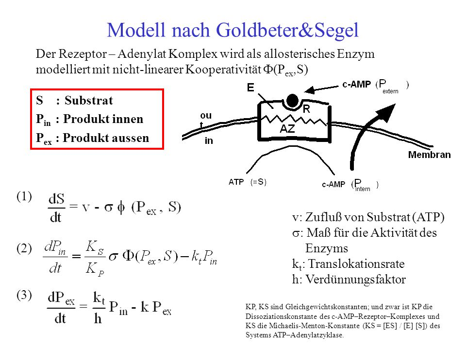 Modell nach Goldbeter&Segel S : Substrat P in : Produkt innen P ex : Produkt aussen (1) (2) (3) Der Rezeptor – Adenylat Komplex wird als allosterisches Enzym modelliert mit nicht-linearer Kooperativität (P ex,S) v: Zufluß von Substrat (ATP) : Maß für die Aktivität des Enzyms k t : Translokationsrate h: Verdünnungsfaktor KP, KS sind Gleichgewichtskonstanten; und zwar ist KP die Dissoziationskonstante des c-AMP–Rezeptor–Komplexes und KS die Michaelis-Menton-Konstante (KS = [ES] / [E] [S]) des Systems ATP–Adenylatzyklase.
