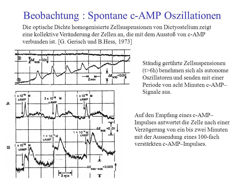 Beobachtung : Spontane c-AMP Oszillationen Die optische Dichte homogenisierte Zellsuspensionen von Dictyostelium zeigt eine kollektive Veränderung der Zellen an, die mit dem Ausstoß von c-AMP verbunden ist.