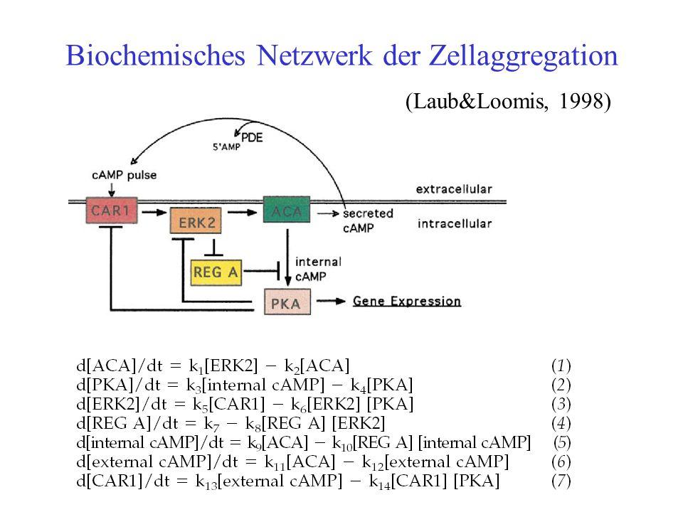 Biochemisches Netzwerk der Zellaggregation (Laub&Loomis, 1998)