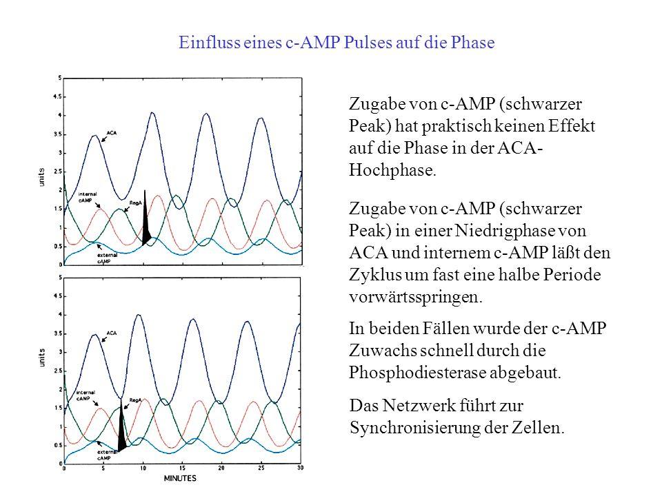 Einfluss eines c-AMP Pulses auf die Phase Zugabe von c-AMP (schwarzer Peak) hat praktisch keinen Effekt auf die Phase in der ACA- Hochphase.