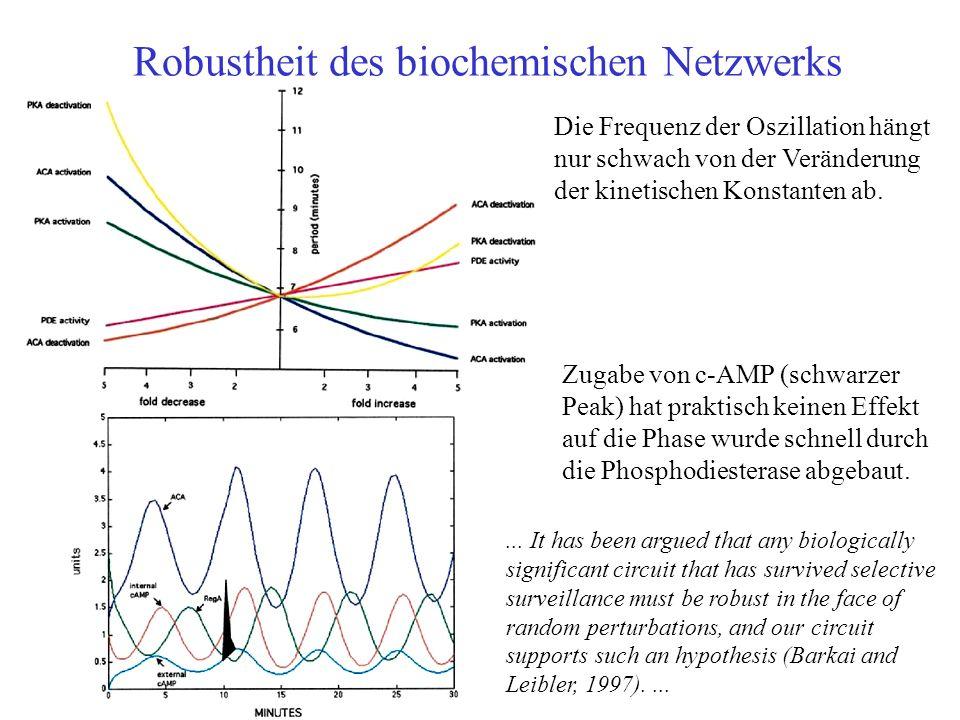 Robustheit des biochemischen Netzwerks Die Frequenz der Oszillation hängt nur schwach von der Veränderung der kinetischen Konstanten ab.