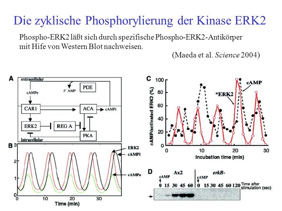 Die zyklische Phosphorylierung der Kinase ERK2 Phospho-ERK2 läßt sich durch spezifische Phospho-ERK2-Antikörper mit Hife von Western Blot nachweisen.