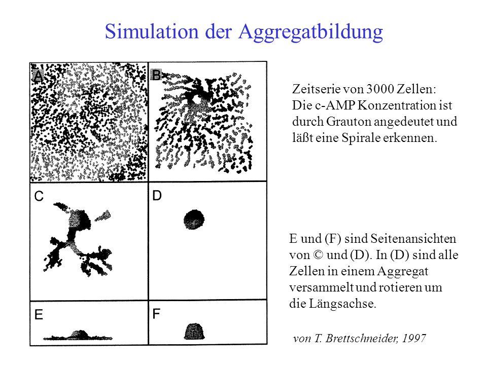 Simulation der Aggregatbildung Zeitserie von 3000 Zellen: Die c-AMP Konzentration ist durch Grauton angedeutet und läßt eine Spirale erkennen.