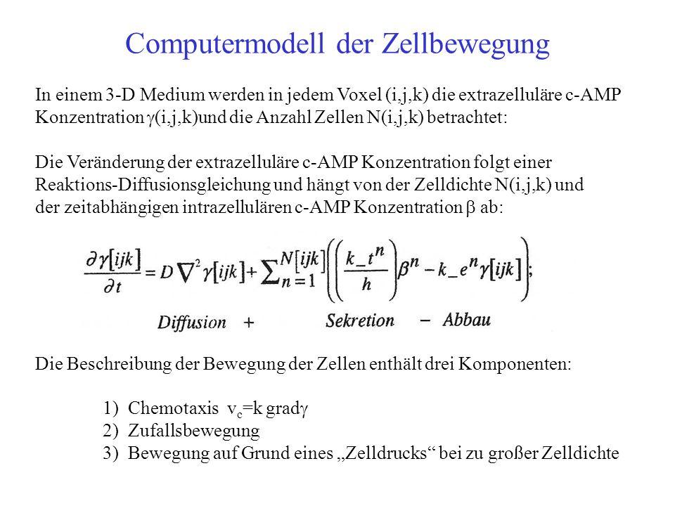 Computermodell der Zellbewegung In einem 3-D Medium werden in jedem Voxel (i,j,k) die extrazelluläre c-AMP Konzentration (i,j,k)und die Anzahl Zellen N(i,j,k) betrachtet: Die Veränderung der extrazelluläre c-AMP Konzentration folgt einer Reaktions-Diffusionsgleichung und hängt von der Zelldichte N(i,j,k) und der zeitabhängigen intrazellulären c-AMP Konzentration ab: Die Beschreibung der Bewegung der Zellen enthält drei Komponenten: 1) Chemotaxis v c =k grad 2) Zufallsbewegung 3) Bewegung auf Grund eines Zelldrucks bei zu großer Zelldichte