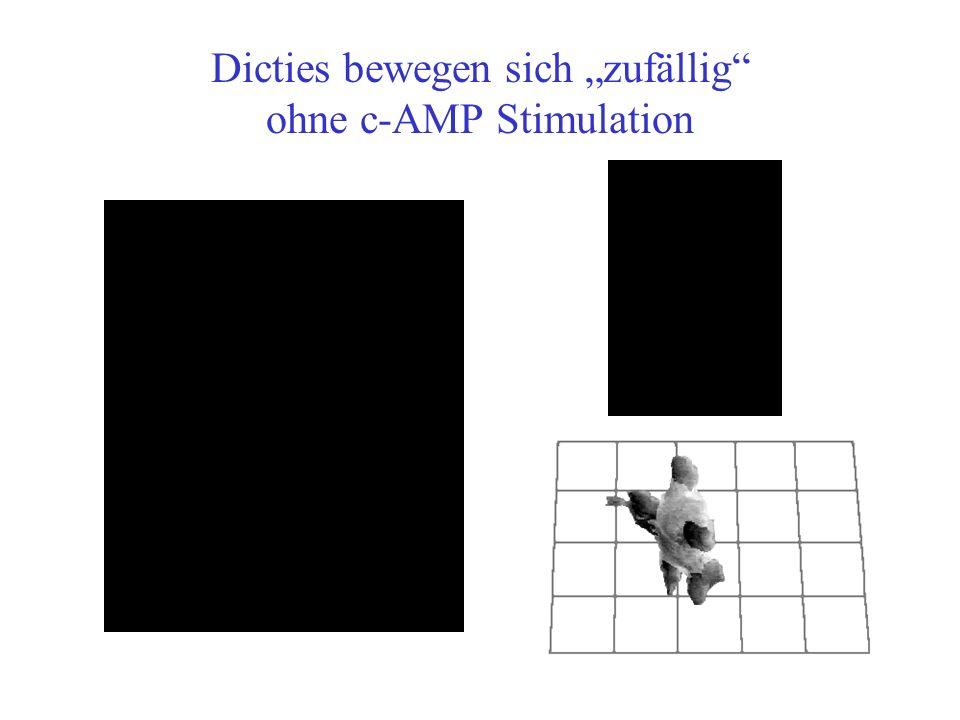 Dicties bewegen sich zufällig ohne c-AMP Stimulation