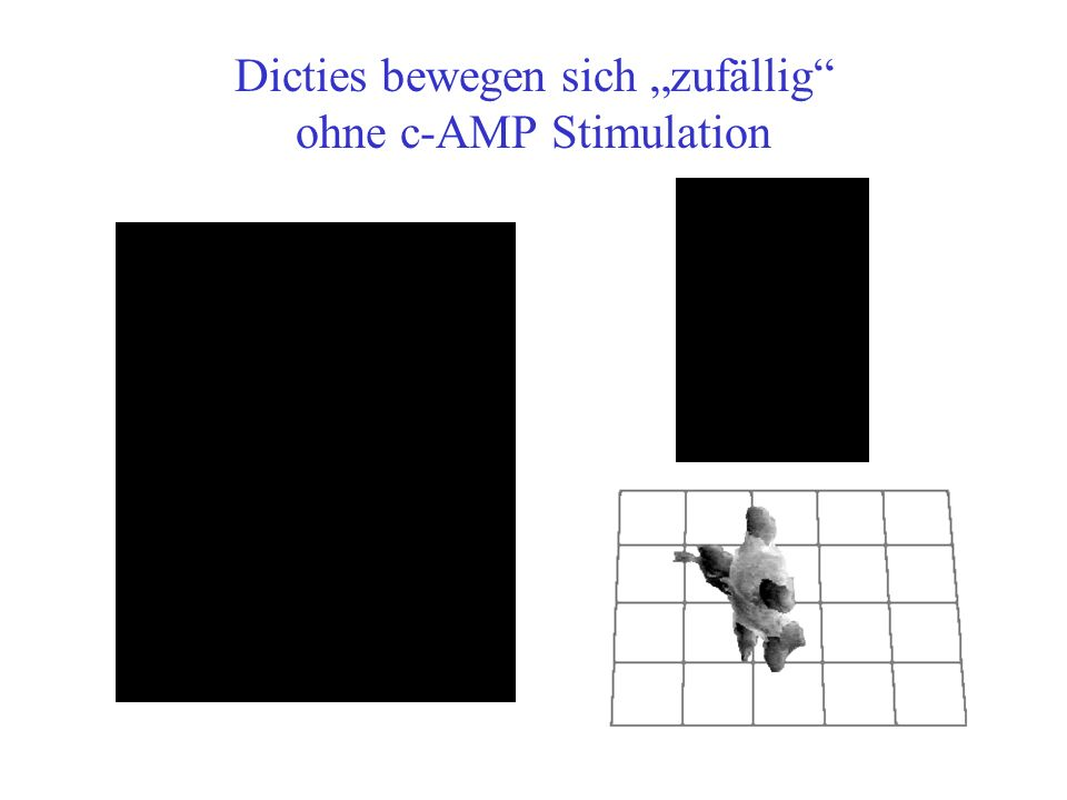 G Signalübertragungsweg dictyostelium discoideum PIP 2 PIP 3 CRAC cAMP PI3K* PH PTEN Rac/Cdc42 Polarisation - Actin polymerization RAS Gradient Sensing pleckstrin homology domain + Acetylcholin- Aktivierung