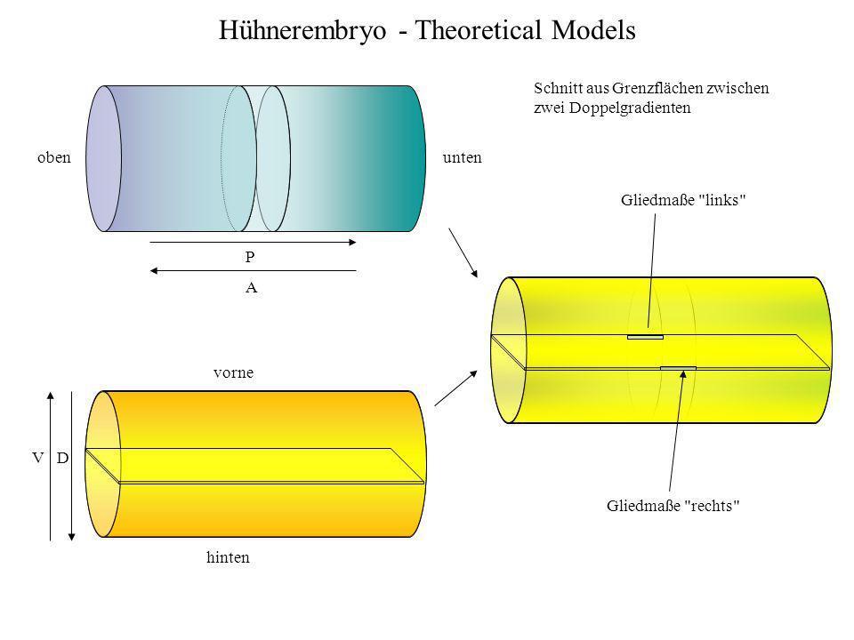 Hühnerembryo - Theoretical Models obenunten vorne hinten P A D V Gliedmaße