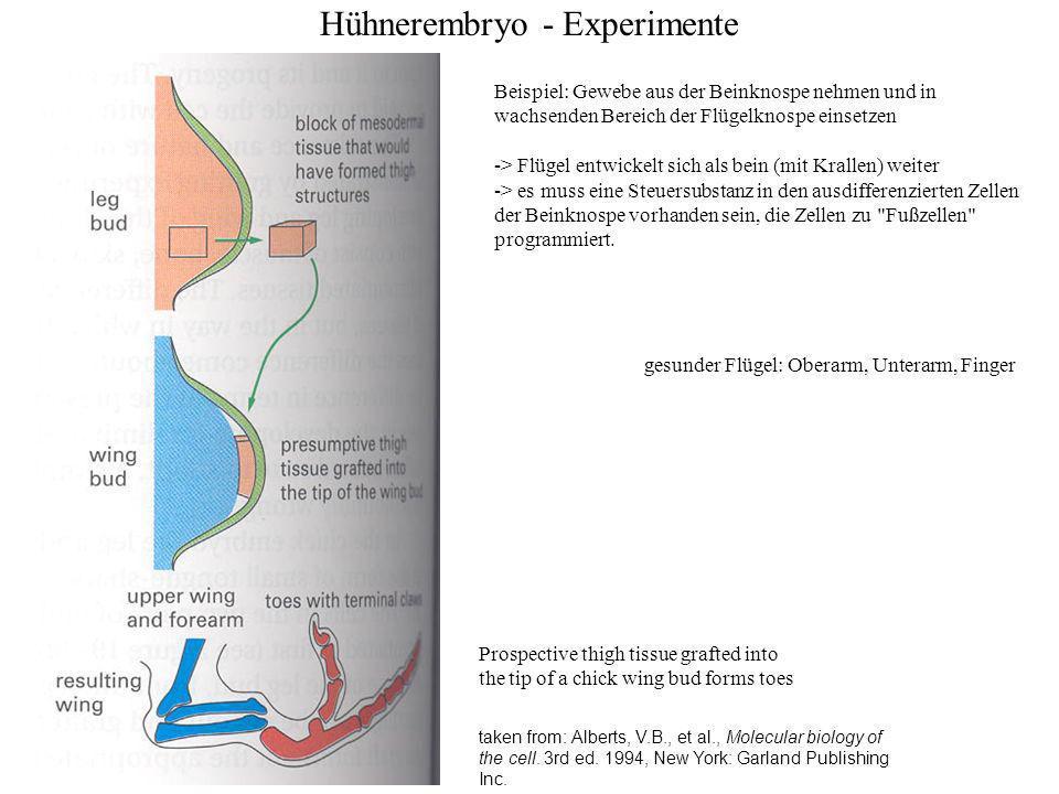 Hühnerembryo - Experimente taken from: Meinhardt, H., Wie Schnecken sich in Schale werfen.