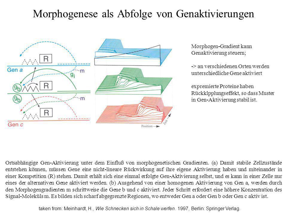 Morphogenese als Abfolge von Genaktivierungen taken from: Meinhardt, H., Wie Schnecken sich in Schale werfen. 1997, Berlin: Springer Verlag. Ortsabhän
