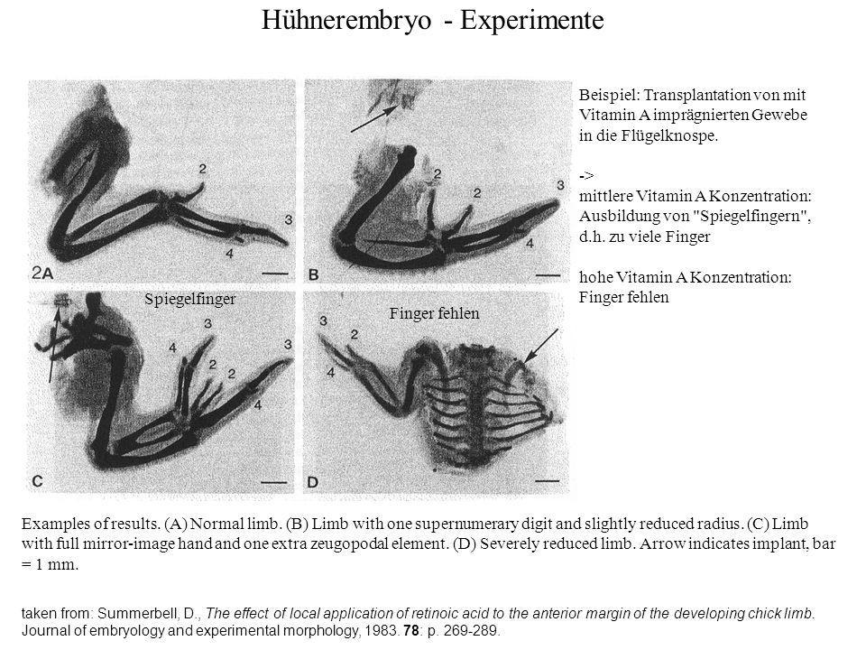Hühnerembryo - Experimente taken from: Summerbell, D., The effect of local application of retinoic acid to the anterior margin of the developing chick