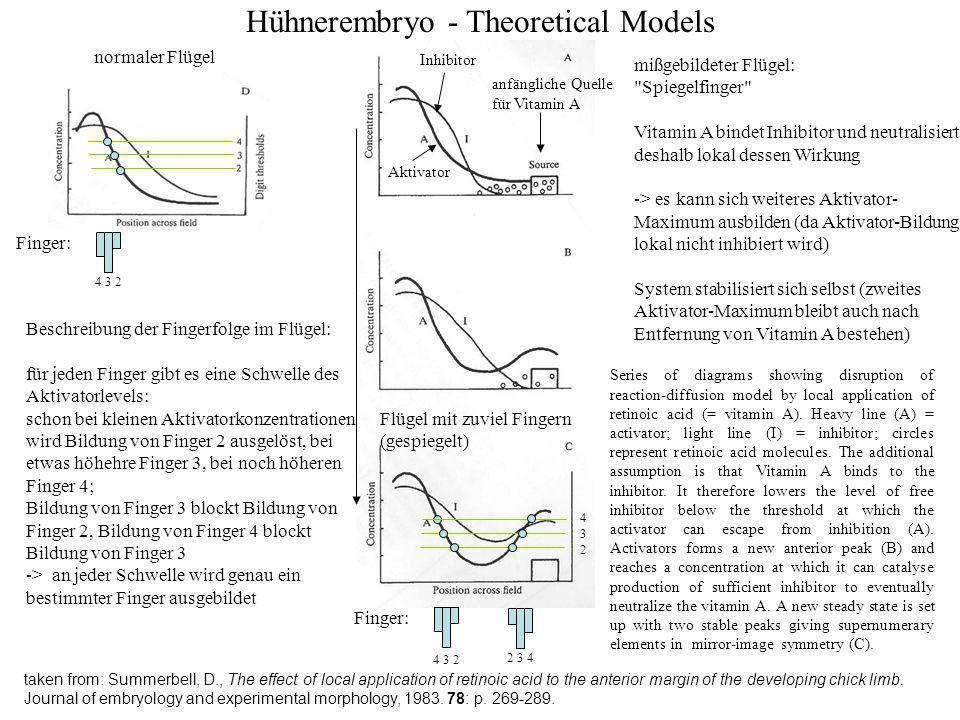 Hühnerembryo - Theoretical Models taken from: Summerbell, D., The effect of local application of retinoic acid to the anterior margin of the developing chick limb.