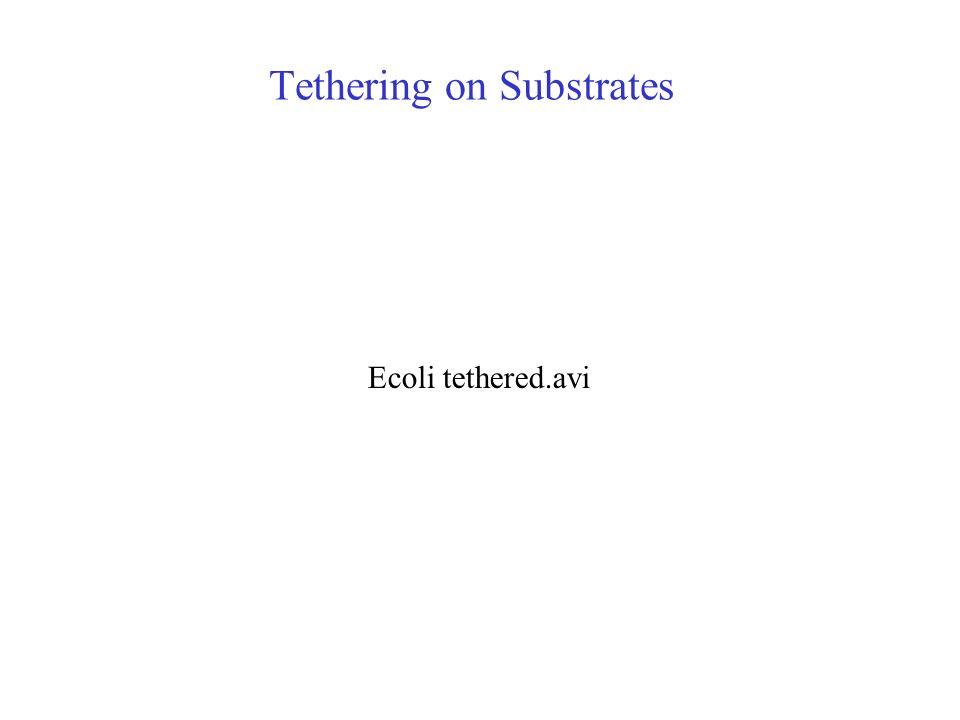 Tethering on Substrates Ecoli tethered.avi