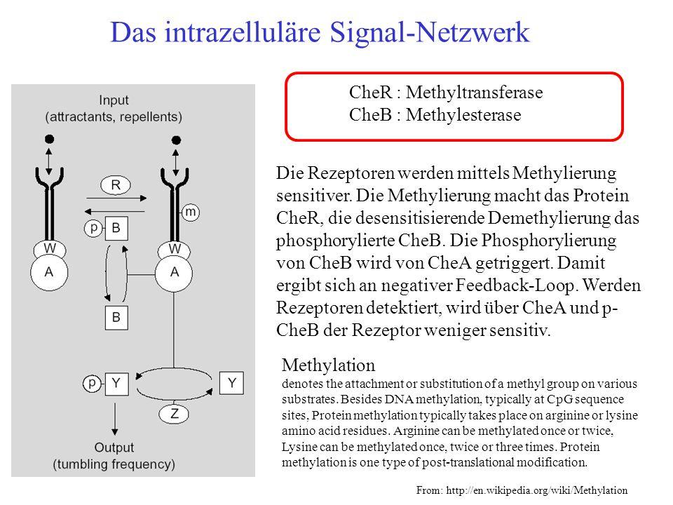 Das intrazelluläre Signal-Netzwerk Die Rezeptoren werden mittels Methylierung sensitiver. Die Methylierung macht das Protein CheR, die desensitisieren
