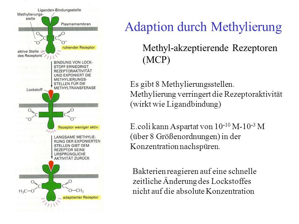 Adaption durch Methylierung E.coli kann Aspartat von 10 -10 M-10 -3 M (über 8 Größenordnungen) in der Konzentration nachspüren. Bakterien reagieren au