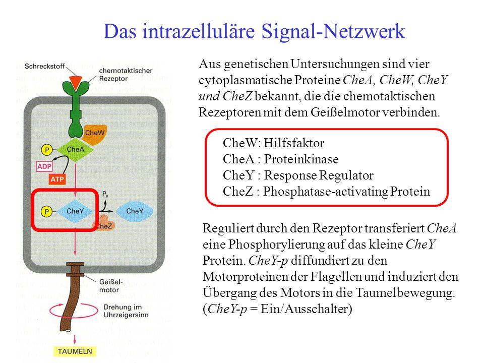Das intrazelluläre Signal-Netzwerk Aus genetischen Untersuchungen sind vier cytoplasmatische Proteine CheA, CheW, CheY und CheZ bekannt, die die chemo