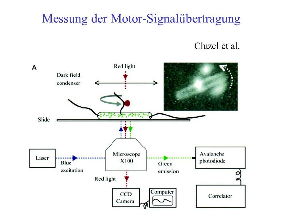 Messung der Motor-Signalübertragung Cluzel et al.