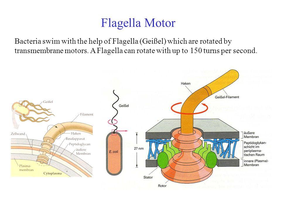 Bakterien adaptieren ihre Signalantwort Beobachtung nach Zugabe des Lockstoffs bei t=0 : Die Taumelfrequenz (Häufigkeit einer Taumelbewegung pro Sek.) nimmt schlagartig ab.