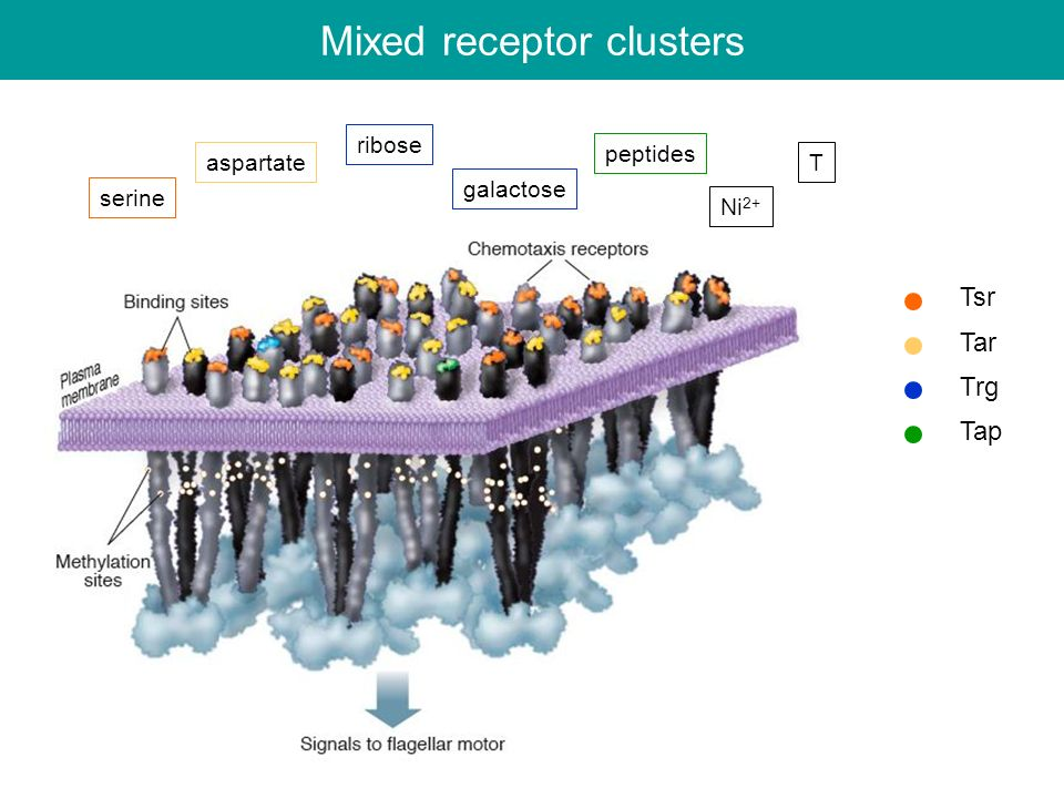 Mixed receptor clusters Tsr Tar Trg Tap serine aspartate ribose galactose Ni 2+ T peptides