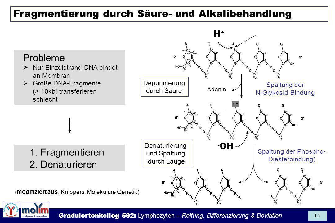 Graduiertenkolleg 592: Lymphozyten – Reifung, Differenzierung & Deviation 15 Fragmentierung durch Säure- und Alkalibehandlung (modifiziert aus: Knippe