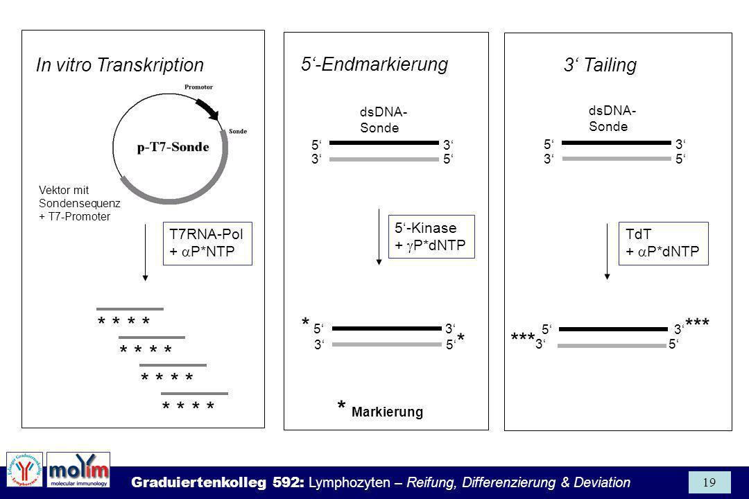 Graduiertenkolleg 592: Lymphozyten – Reifung, Differenzierung & Deviation 19 *** 3 5 5-Endmarkierung In vitro Transkription3 Tailing Vektor mit Sonden