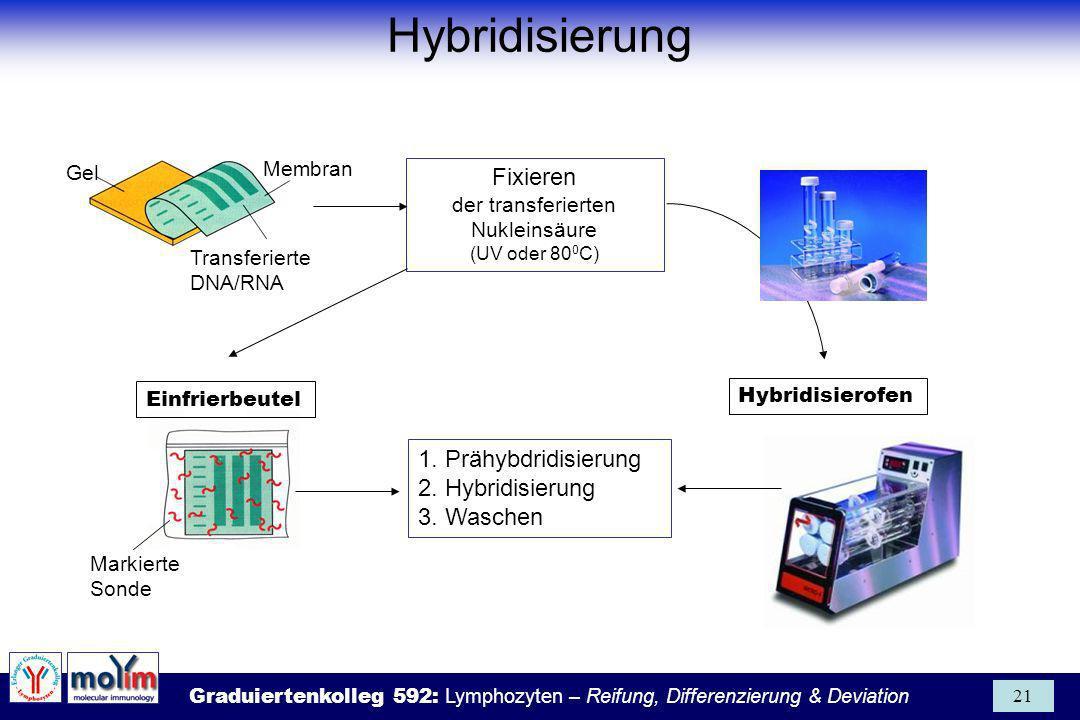 Graduiertenkolleg 592: Lymphozyten – Reifung, Differenzierung & Deviation 21 Fixieren der transferierten Nukleinsäure (UV oder 80 0 C) Gel Membran Tra