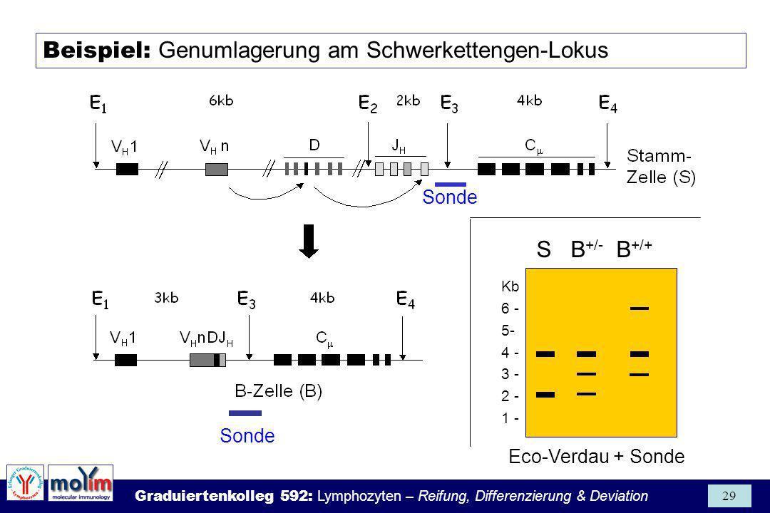 Graduiertenkolleg 592: Lymphozyten – Reifung, Differenzierung & Deviation 29 Beispiel: Genumlagerung am Schwerkettengen-Lokus Kb 6 - 5- 4 - 3 - 2 - 1