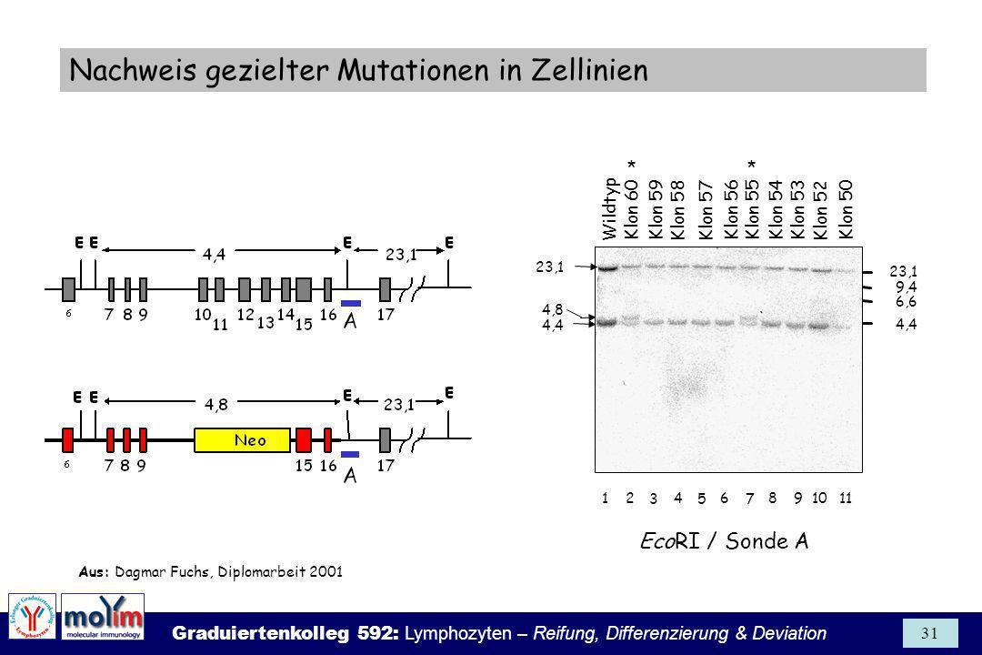 Graduiertenkolleg 592: Lymphozyten – Reifung, Differenzierung & Deviation 31 23,1 4,4 11164 5 2 3 9108 7 4,8 23,1 9,4 6,6 4,4 Wildtyp Klon 55Klon 59Kl