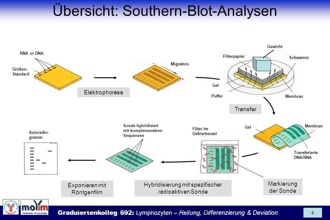 Graduiertenkolleg 592: Lymphozyten – Reifung, Differenzierung & Deviation 15 Fragmentierung durch Säure- und Alkalibehandlung (modifiziert aus: Knippers, Molekulare Genetik) Probleme Nur Einzelstrand-DNA bindet an Membran Große DNA-Fragmente (> 10kb) transferieren schlecht 1.