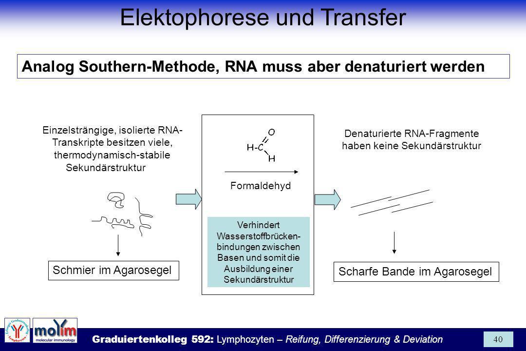 Graduiertenkolleg 592: Lymphozyten – Reifung, Differenzierung & Deviation 40 Einzelsträngige, isolierte RNA- Transkripte besitzen viele, thermodynamis