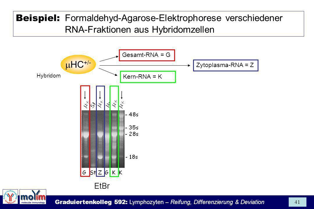 Graduiertenkolleg 592: Lymphozyten – Reifung, Differenzierung & Deviation 41 Beispiel: Formaldehyd-Agarose-Elektrophorese verschiedener RNA-Fraktionen