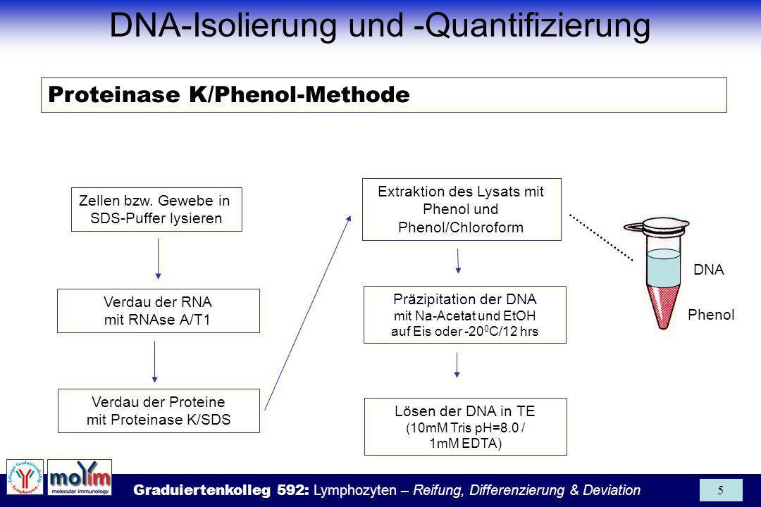Graduiertenkolleg 592: Lymphozyten – Reifung, Differenzierung & Deviation 36 Erfolgreiche RNA-Isolierung (4-Punkte-Regel) 1.Inaktivierung der RNAse-Aktivität 2.Effektiver Zellaufschluß 3.Denaturierung der Nukleoproteinkomplexe 4.Entfernung von Protein und DNA OH + CHCl 3 S-C N 2 HN C NH 2 NH 2 + - Guanidinium-Isothiocyanat (GIT) Phenol / Chloroform oInaktiviert RNAsen oGuter Zellaufschluß oZerstört Nukleoprotein- komplexe oZerstört Nukleoprotein- komplexes oExtrahiert DNA und denaturierte Proteine