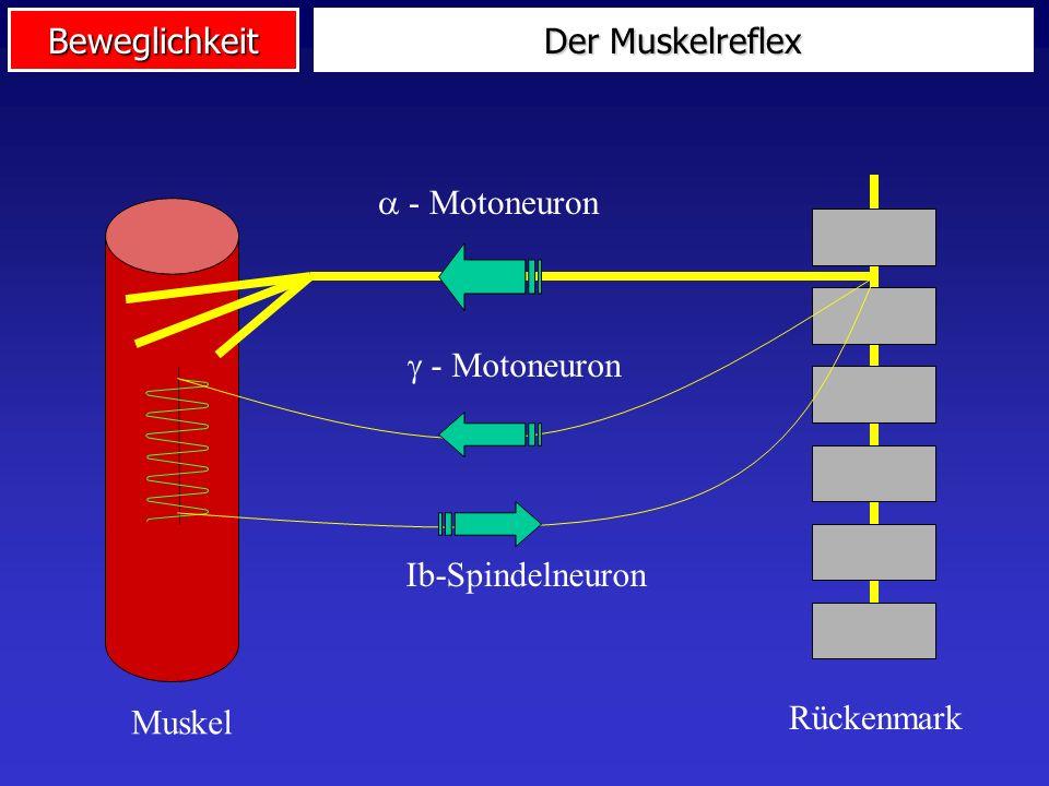 2. Systematik und Determinanten Der Muskelreflex