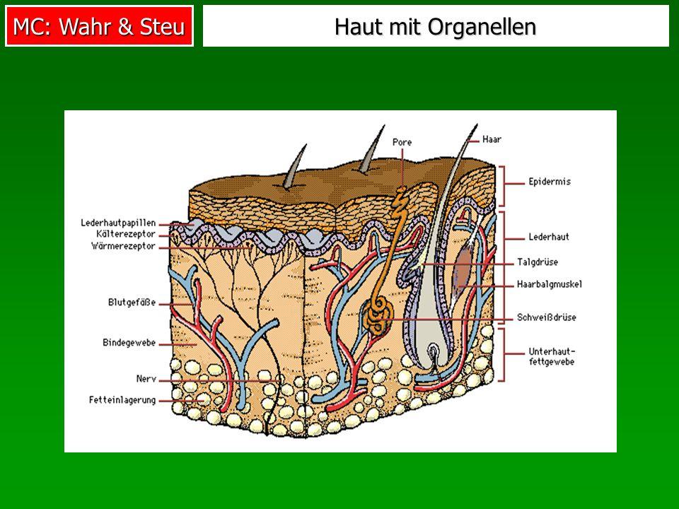 MC: Wahr & Steu Haut mit Organellen