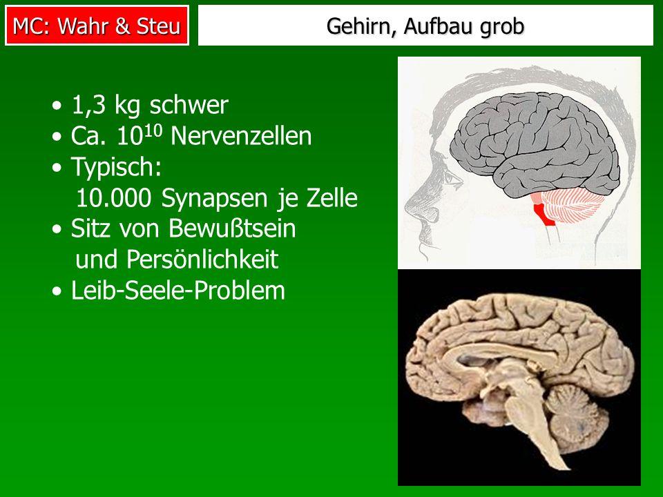 MC: Wahr & Steu Gehirn, Aufbau grob 1,3 kg schwer Ca. 10 10 Nervenzellen Typisch: 10.000 Synapsen je Zelle Sitz von Bewußtsein und Persönlichkeit Leib