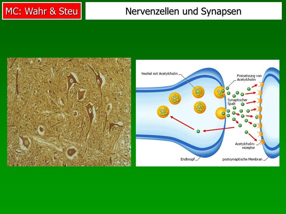 Nervenzellen und Synapsen